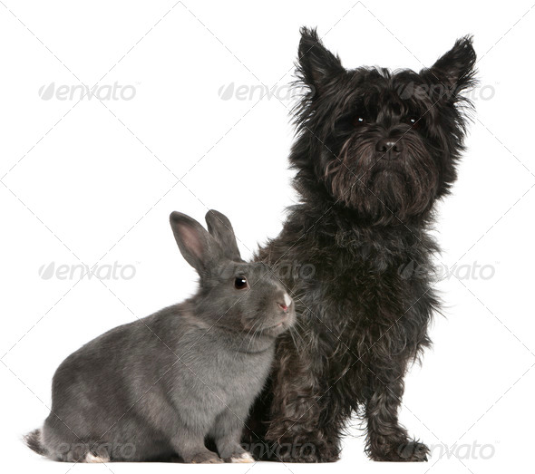 Cairn Terrier, 4 years old, and a rabbit, 1 year old, sitting in front of white background - Stock Photo - Images