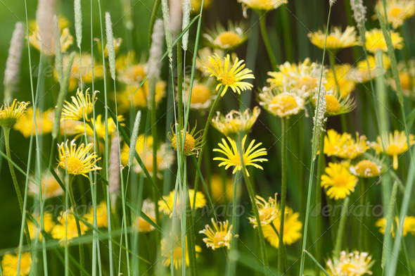 Yellow daisy group - Stock Photo - Images
