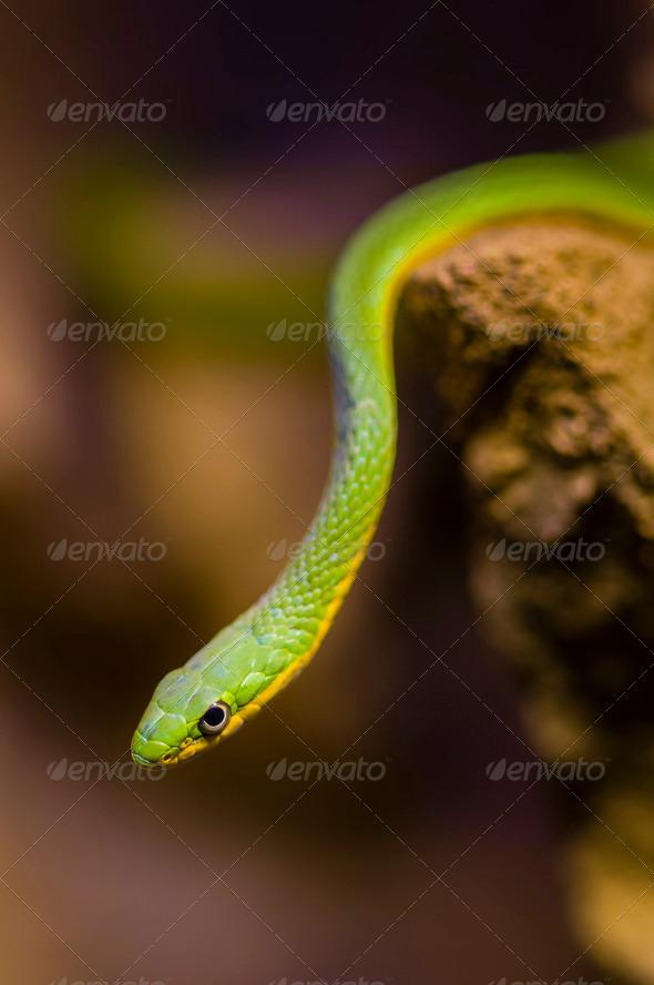 Hanging green snake - Stock Photo - Images