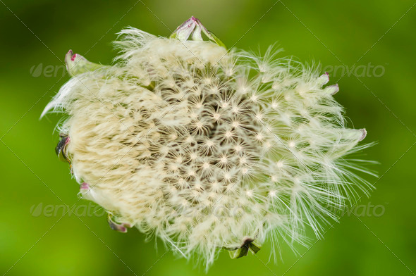 Dandelion seeds - Stock Photo - Images