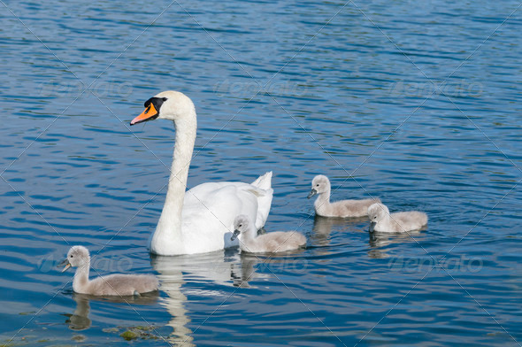 Parent swan with offspring - Stock Photo - Images