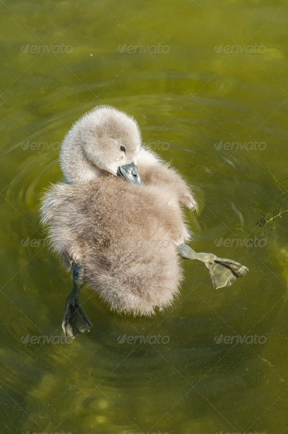 Young swan bird - Stock Photo - Images