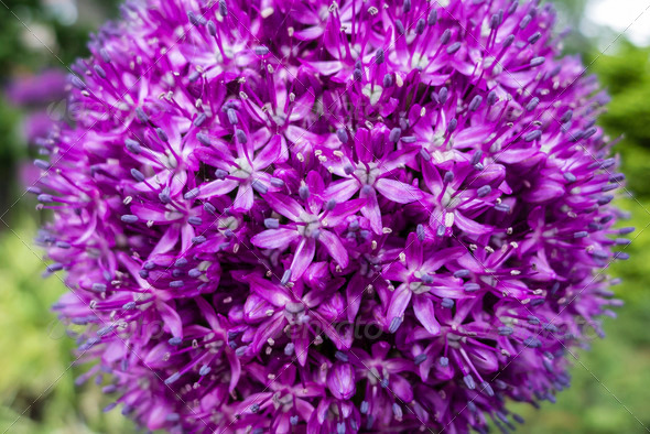 Ornamental allium flower - Stock Photo - Images