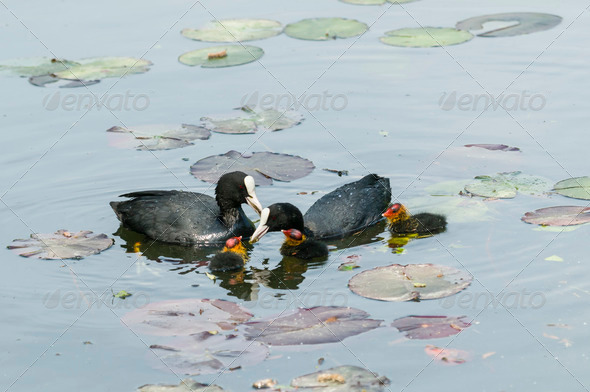Coot family on a ponf - Stock Photo - Images