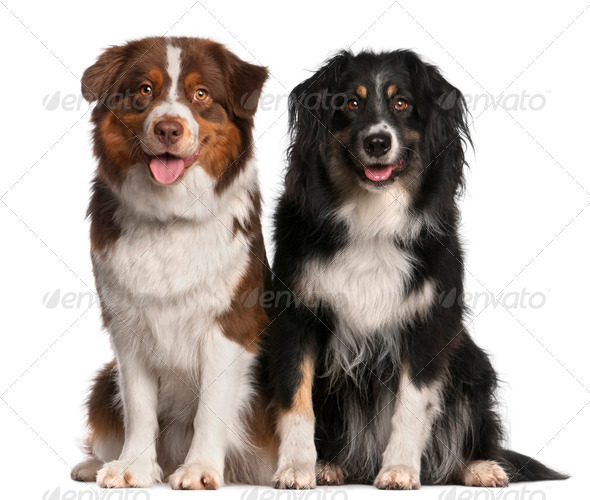 Australian Shepherd dogs, 3 years old and 18 months old, sitting in front of white background - Stock Photo - Images