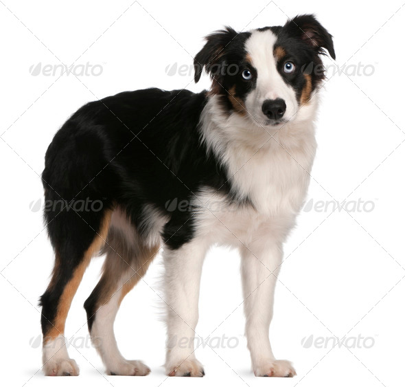 Australian Shepherd puppy, 5 months old, standing in front of white background - Stock Photo - Images