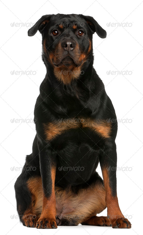 Rottweiler sitting in front of white background - Stock Photo - Images