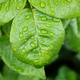 Green leaves of roses covered with small raindrops. Macro view, shallow depth of field. - PhotoDune Item for Sale