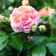 A bush of a pink rose with one blossoming and several ripening buds - PhotoDune Item for Sale