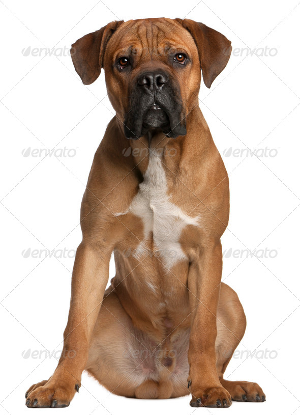 Cane Corso, 9 months old, sitting in front of white background - Stock Photo - Images