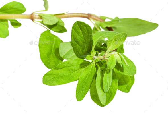 top of fresh marjoram twig close up isolated - Stock Photo - Images