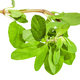 top of fresh marjoram twig close up isolated - PhotoDune Item for Sale