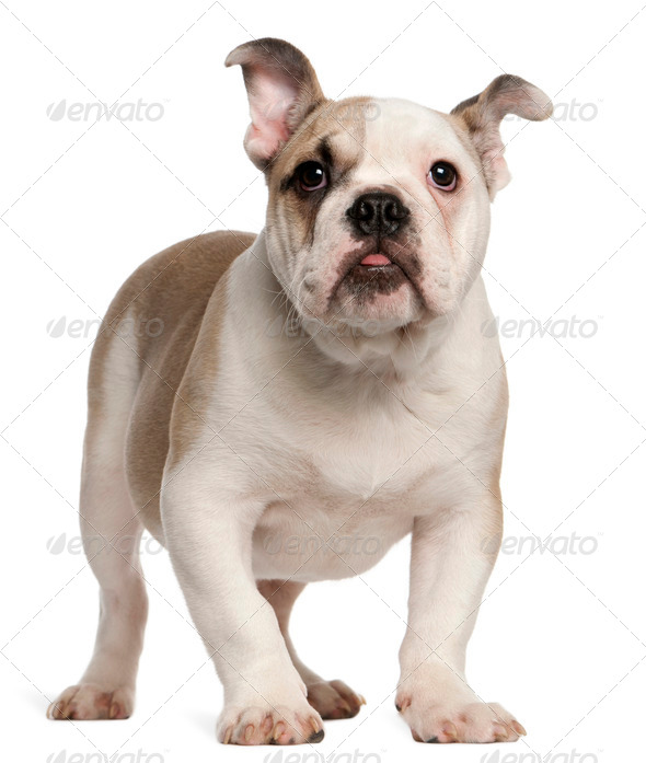English bulldog, 4 months old, standing in front of white background - Stock Photo - Images