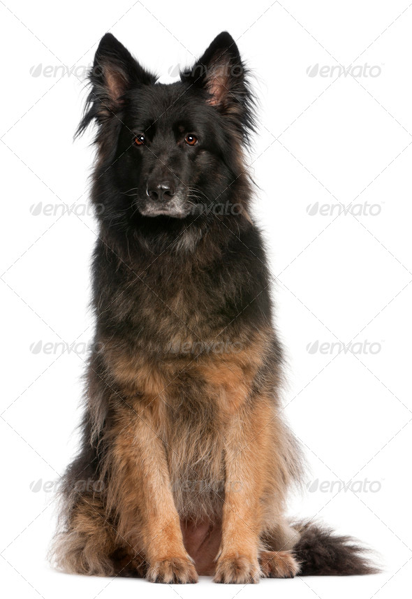 German Shepherd sitting in front of white background - Stock Photo - Images