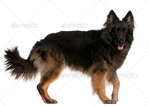 German Shepherd standing in front of white background - Stock Photo - Images