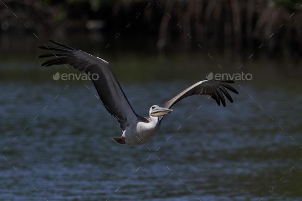Pink-backed pelican (Pelecanus rufescens) - Stock Photo - Images