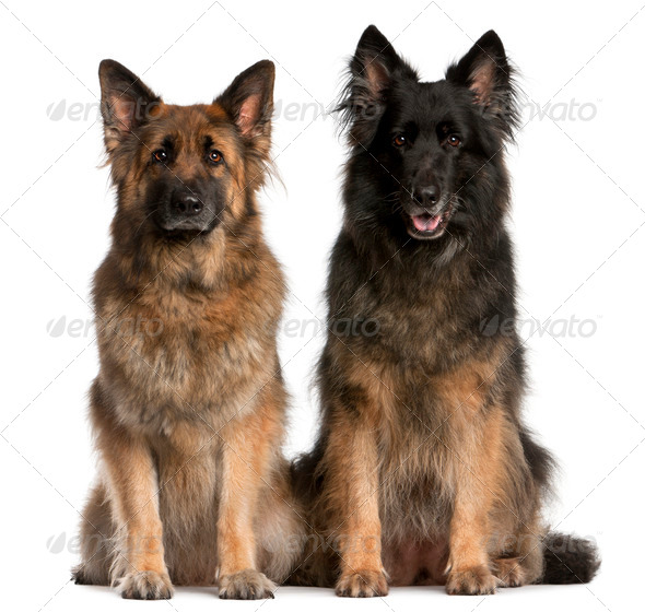 Two German Shepherds sitting in front of white background - Stock Photo - Images