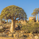 Kokerboom or Quiver Trees in South Africa - PhotoDune Item for Sale