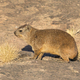 A Rock Hyrax or Dassie in South Africa - PhotoDune Item for Sale