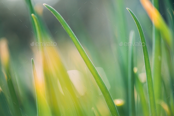 Scallions Or Green Onions, Spring Onions, Or Salad Onions. Young Spring Green Leaf Leaves Growing In - Stock Photo - Images