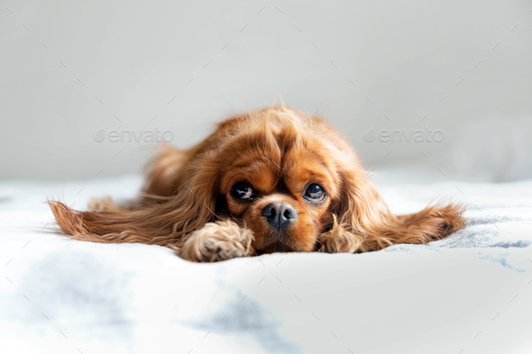 Adorable cavalier spaniel relaxing on white blanket - Stock Photo - Images