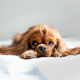 Adorable cavalier spaniel relaxing on white blanket - PhotoDune Item for Sale