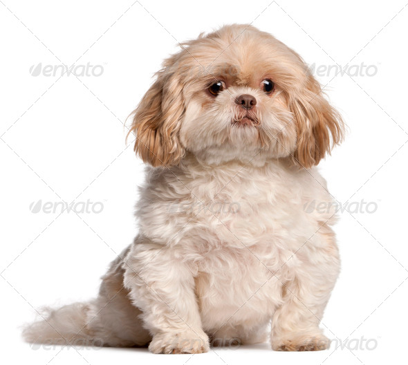 Shih Tzu sitting in front of white background - Stock Photo - Images
