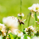 Close up of honey bee in midair on the clover flower in the green field. Green background - PhotoDune Item for Sale