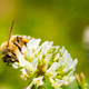 Close up of honey bee on the clover flower in the green field. Green background - PhotoDune Item for Sale