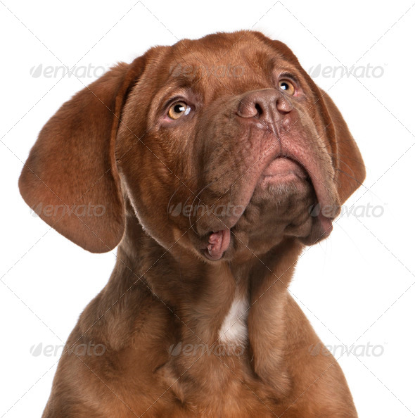 Dogue de Bordeaux puppy, 5 months old, looking up in front of white background - Stock Photo - Images