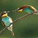 European bee-eater courting on twig in mating season - PhotoDune Item for Sale