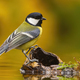 Colorful Great tit sitting on wood above weter pond - PhotoDune Item for Sale