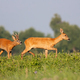 Roe deer male following female on meadow during the summer - PhotoDune Item for Sale