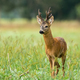 Majestic roe deer standing on meadow during the summer - PhotoDune Item for Sale
