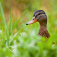 Calm mallard female watching on meadow during the summer - PhotoDune Item for Sale