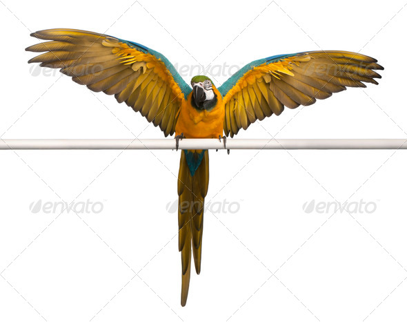 Blue and Yellow Macaw, Ara Ararauna, perched and flapping wings in front of white background - Stock Photo - Images