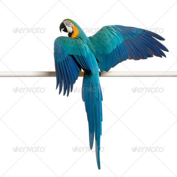 Blue and Yellow Macaw, Ara Ararauna, perched on pole in front of white background - Stock Photo - Images