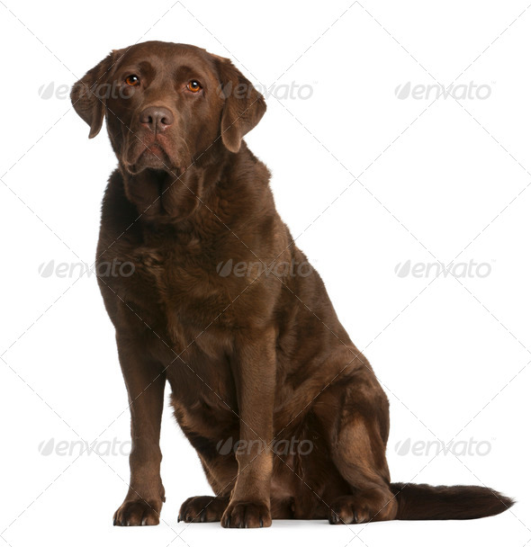 Labrador Retriever, 8 years old, sitting in front of white background - Stock Photo - Images