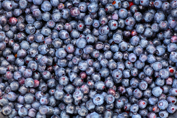 Freshly picked wild blueberry - Stock Photo - Images