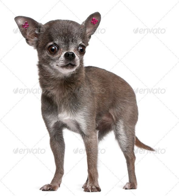 Chihuahua (7 years old) - Stock Photo - Images
