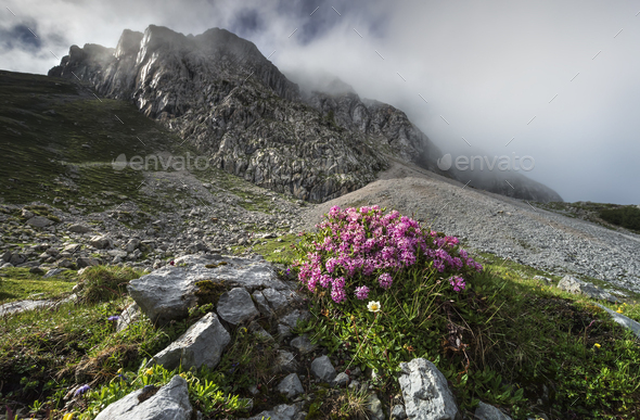 pink flowers on rocks in Alps - Stock Photo - Images