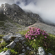 pink flowers on rocks in Alps - PhotoDune Item for Sale