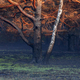 birch and pine tree burned in wild fire - PhotoDune Item for Sale