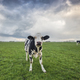 cute funny cow on green pasture - PhotoDune Item for Sale
