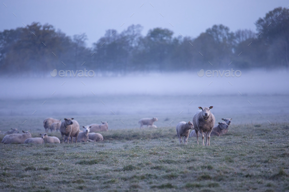 sheep herd in morning fog - Stock Photo - Images