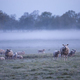 sheep herd in morning fog - PhotoDune Item for Sale