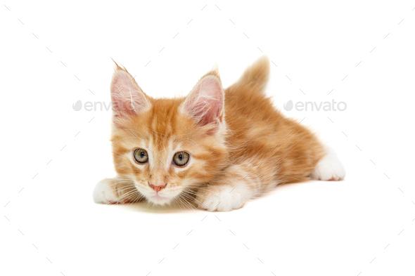 small white British kitten lies - Stock Photo - Images