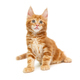 Small red Maine Coon kitten shows tongue - PhotoDune Item for Sale