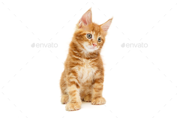 Small red Maine Coon kitten - Stock Photo - Images