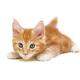 small white British kitten lies - PhotoDune Item for Sale